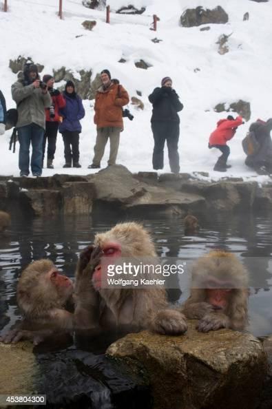 Japan Near Nagano Jigokudani Snow Monkeys Sitting In Hot Spring Tourists