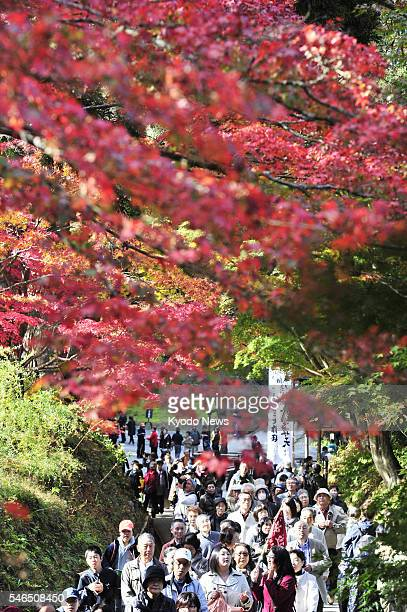 HIRAIZUMI Japan People view on Nov 8 autumn leaves along the approach road to Chusonji a Buddhist temple in the town of Hiraizumi Iwate Prefecture in...