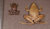 TOKYO Japan Photo shows a new species of narrowmouthed frog Microhyla malang and long taxonomically confused sister species Microhyla borneensis