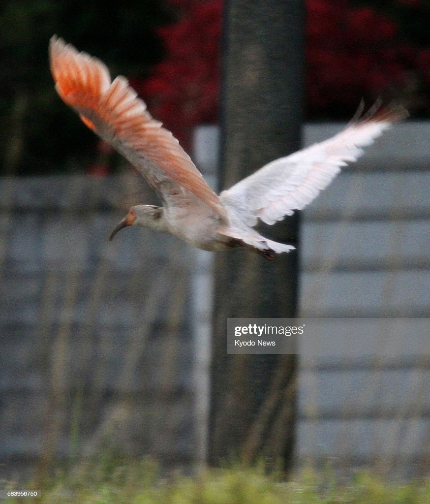 SADO Japan Photo shows a young crested ibis flying in the city of Sado Niigata Prefecture at 445 am on May 30 2012 The Environment Ministry said the...
