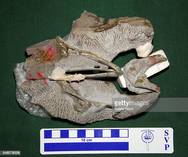 KOBE Japan Photo shows the fossil of a species of Deinonychosauria The Museum of Nature and Human Activities Hyogo in the city of Sanda Hyogo...