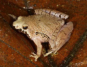 TOKYO Japan Photo taken in August 2008 shows a new species of miniature narrowmouthed frog named Microhyla malang discovered at Kubah National Park...