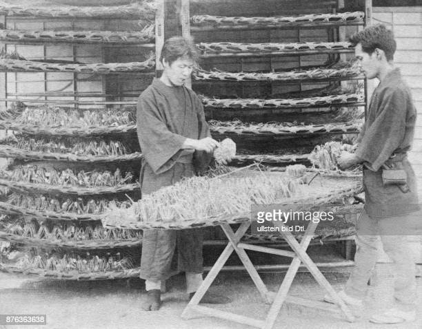 Japan silk spinnery treating silkworms date unknown probably around 1900