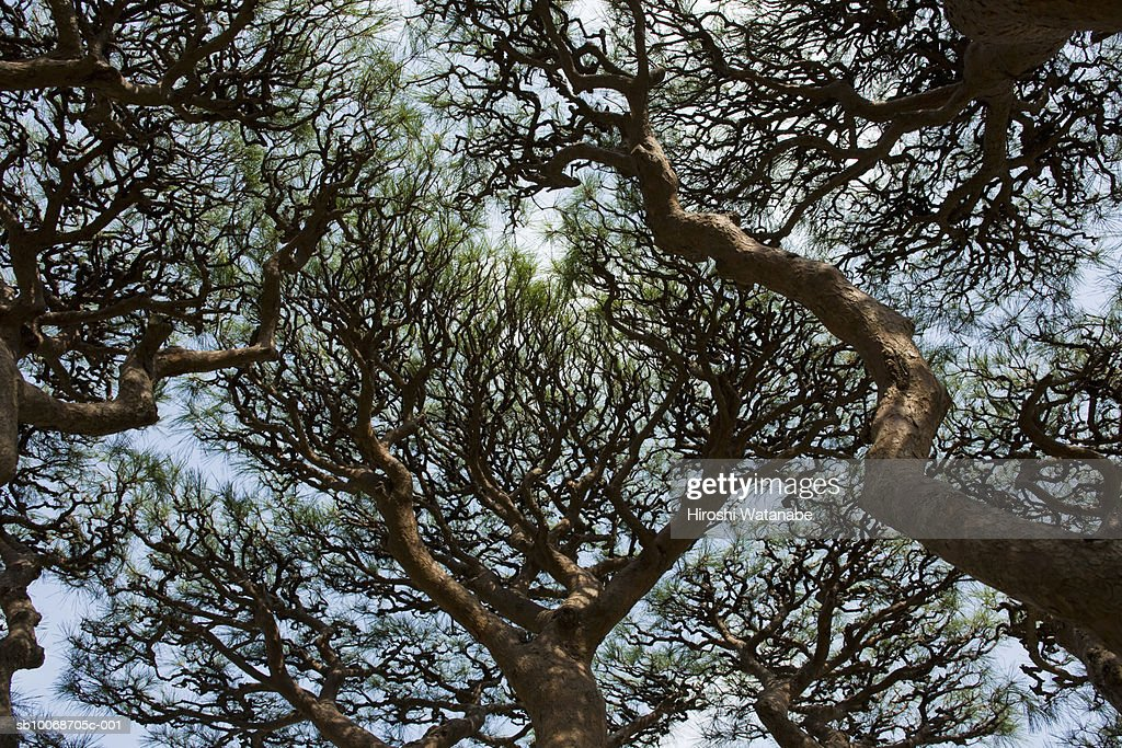Japan, Tokyo, japanese Red Pine (Pinus densiflora) trees, low angle view