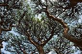 Japan, Tokyo, japanese Red Pine (Pinus densiflora) trees, low angle view