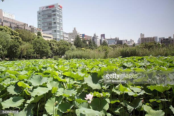 Japan Tokyo Ueno Park Uenokoen Shinobazu Pond water lilies flower blooming flora nature city skyline buildings