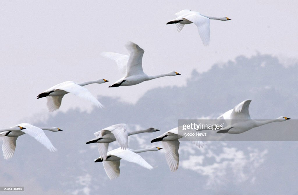 YONAGO Japan Tundra swans leave Yonago Waterbird Sanctuary in Tottori Prefecture on Feb 7 2011 The swans at the park have started migrating from...