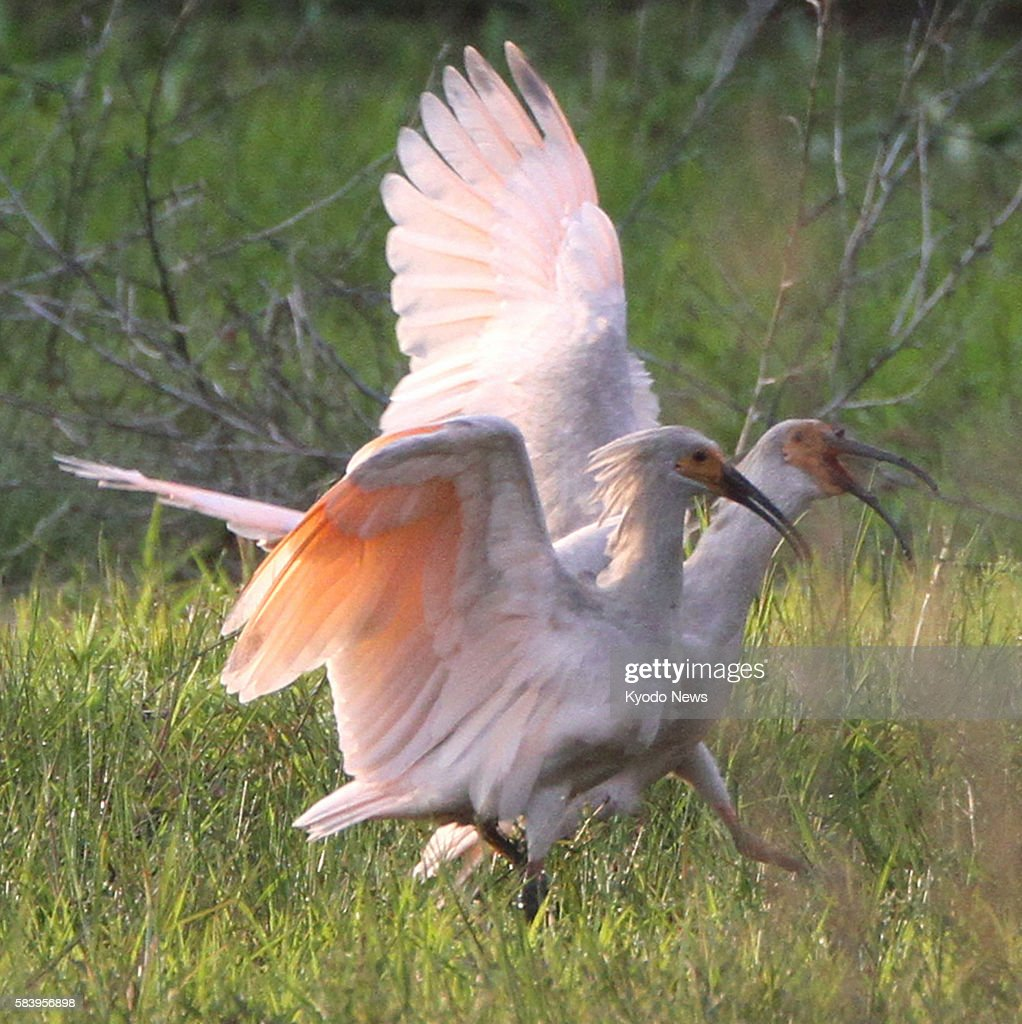 SADO Japan Two young crested ibises spread their wings in a fallow rice paddy in Sado Niigata Prefecture on June 1 2012 The young birds were two of...