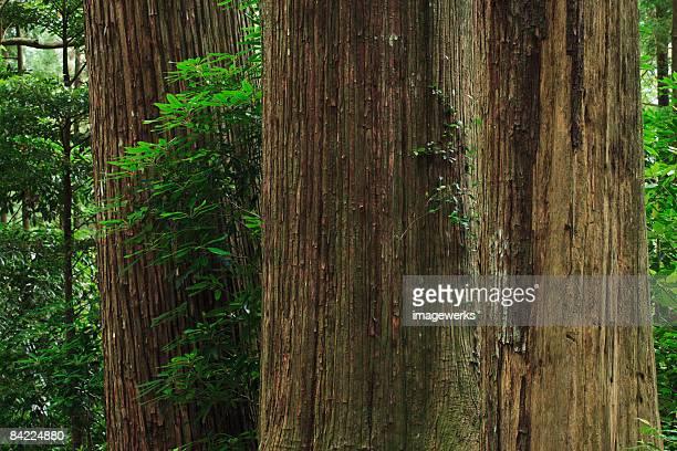 Japan, Wakayama, Kumano Kodo, Large cedar tree trunks in forest, close-up