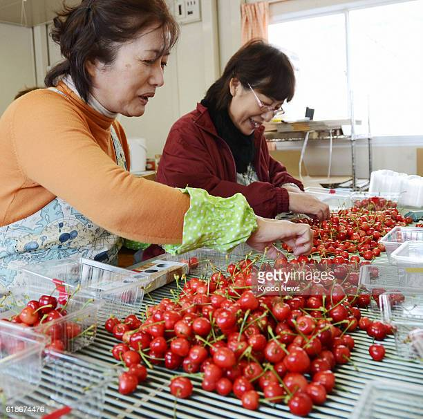 TENDO Japan Women put greenhousegrown cherries into packs in Tendo Yamagata Prefecture on Jan 4 for the season's first shipment
