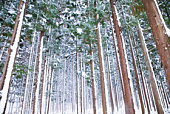 Japan, Yamagata Prefecture, Yonezawa, Fir trees covered with snow in forest, low angle view