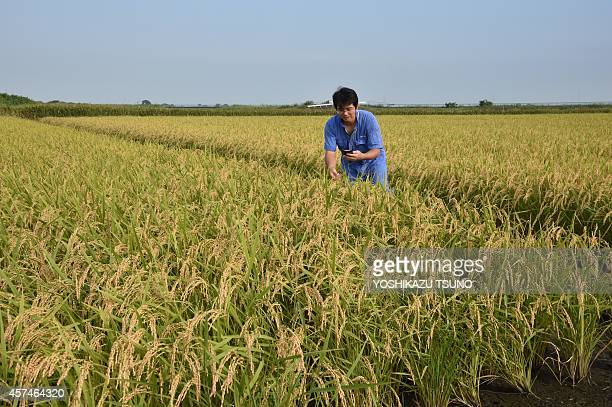 Japanagriculturericetradesocial by Harumi Ozawa This picture taken on August 17 2014 shows rice farmer Shuichi Yokota checking the growth condition...