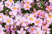 close up arrangement of violet yellow green japanese anemone flowers flower blossoms with colorful heads on a bush or plant in garden nature with leafs
