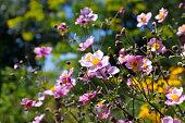 japanese anemone flowers,  Anemone hupehensis