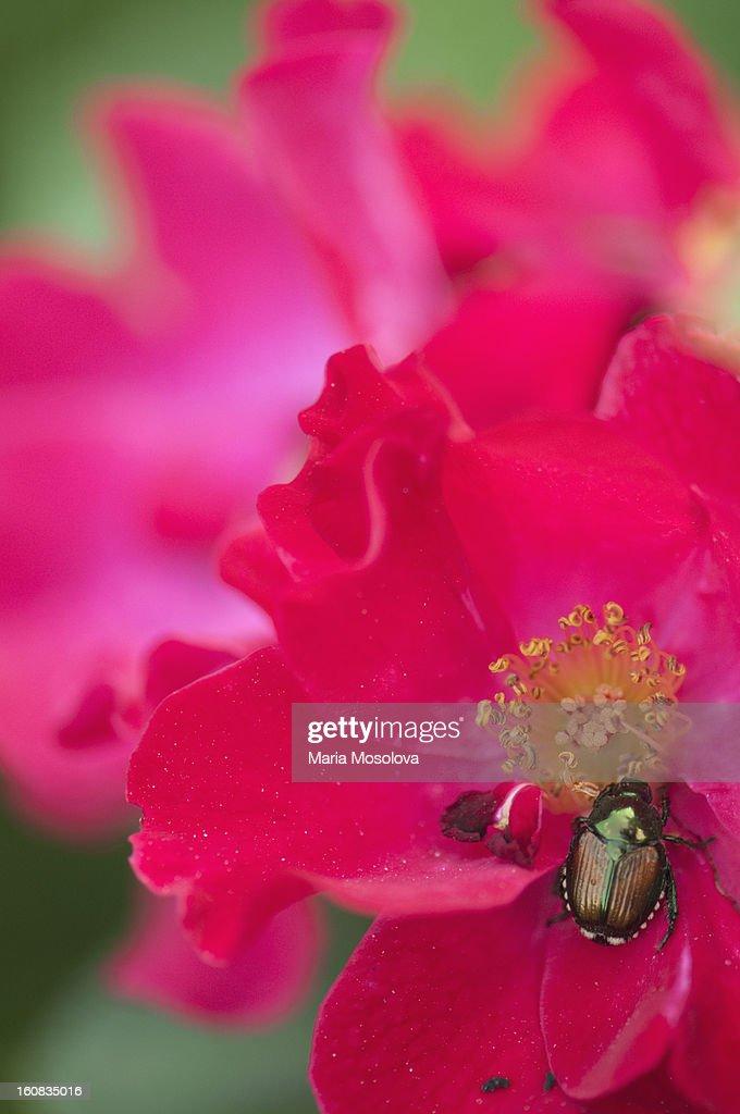 Japanese Beetle Feediing on 'Dortmund' Rose Flower : Stock Photo