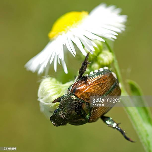 Japanese beetle, Popillia japonica, on fleabane diasy