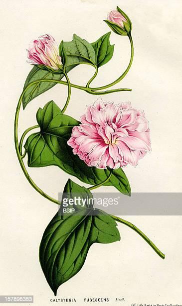 Japanese Bindweed Ancient EngravingCalystegia Pubescens Japanese Bindweed Morning Glory Convolvulacea Eudicotyledon Angiospermae Plant