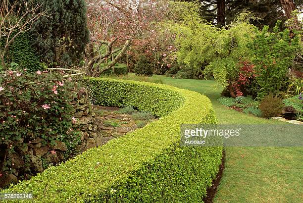 Japanese box hedge Buxus japonica Buskers End Garden Bowral New South Wales Australia