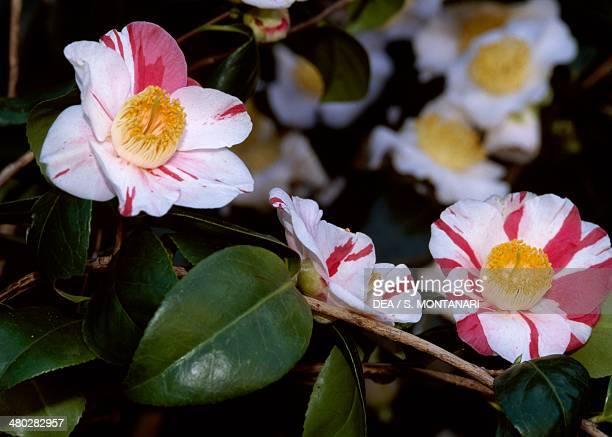 Japanese camellia Camellia japonica Contessa Maggi Theaceae