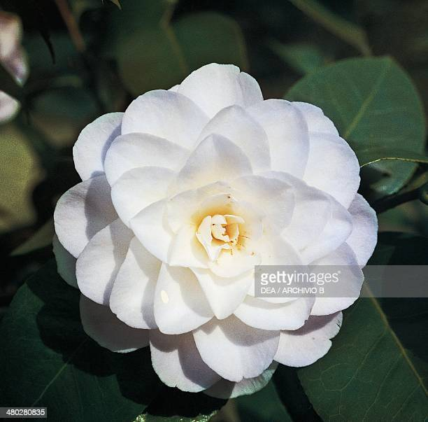Camellia japonica stock photos and pictures getty images - Camelia fotos ...