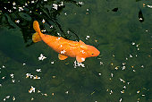 Japanese carps and floating flower petals