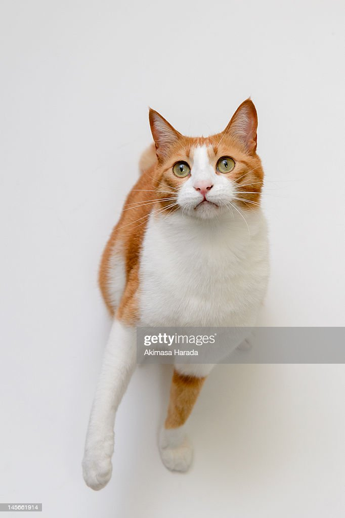 Japanese cat : Stock Photo