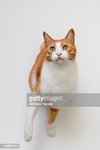 Japanese cat : Stock Photo