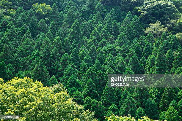 Japanese cedar forest, Shizuoka Prefecture