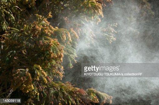 Japanese cedar pollen