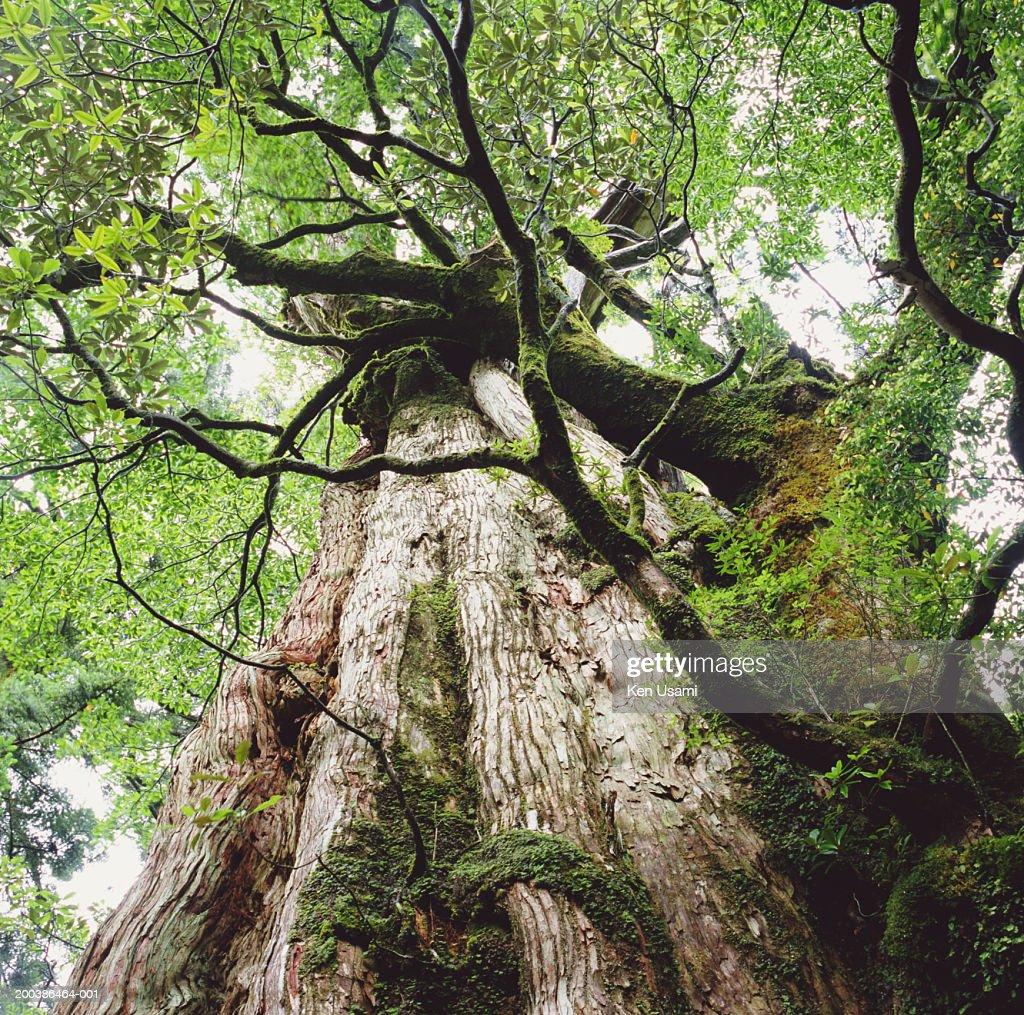 Japanese Cedar Tree Low Angle View Bildbanksbilder Getty Images