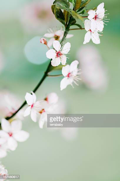 Japanese Cherry Blooming Twig
