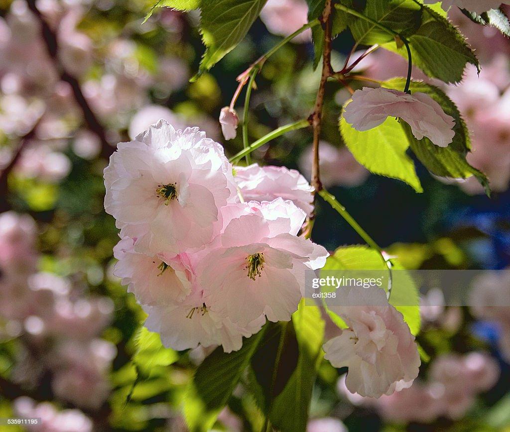 Flor de cerejeira Japonesa : Foto de stock