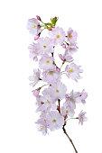 Japanese cherry (Prunus serrulata)
