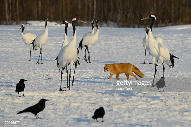 Japanese Cranes and Red Fox in Hokkaido, Japan