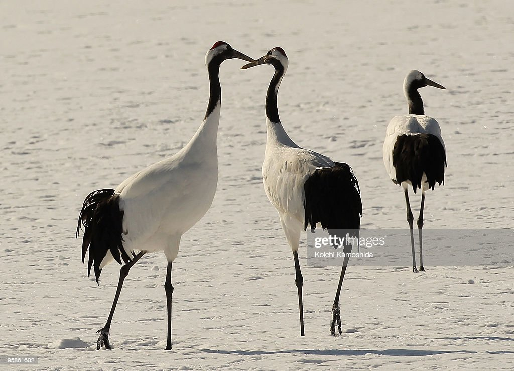 Japanese cranes are seen in a snowcovered field at the Tsurui village on January 19 2010 in the Akan district of Kushiro Hokkaido Japan Approximately...