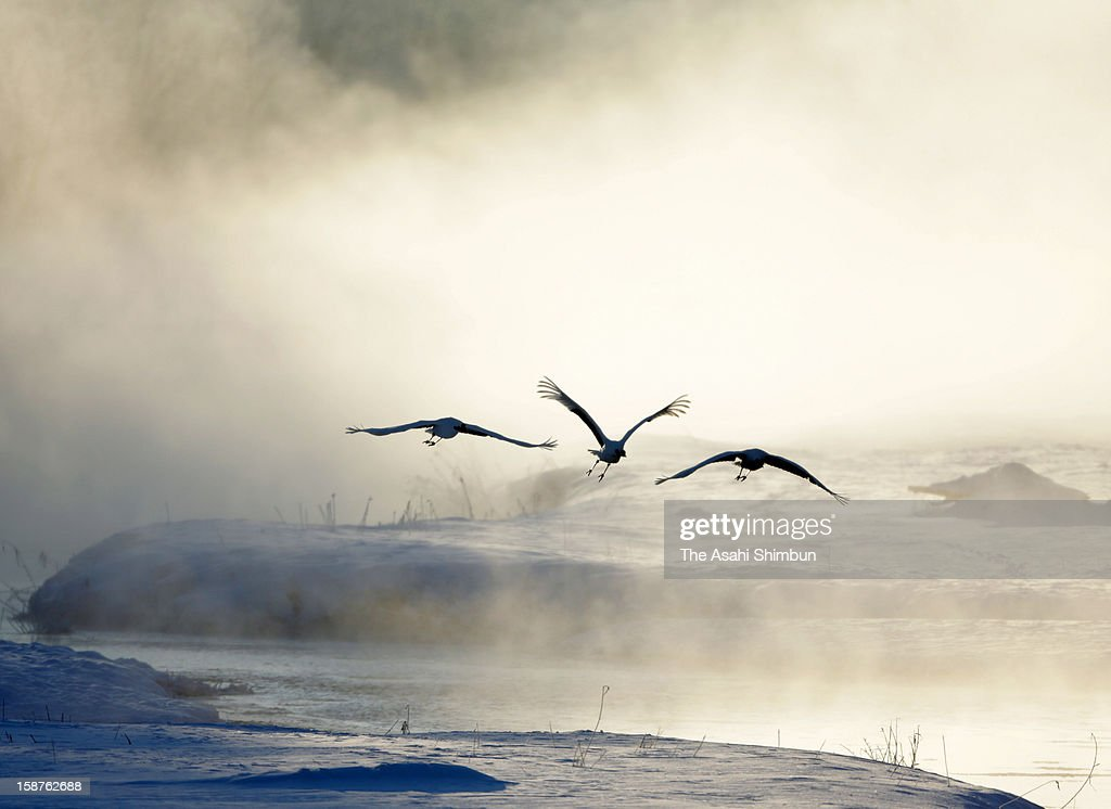 Japanese cranes fly in the steam fog, created by cold air passing over warmer water, at Setsuri River on December 27, 2012 in Tsurui, Hokkaido, Japan.