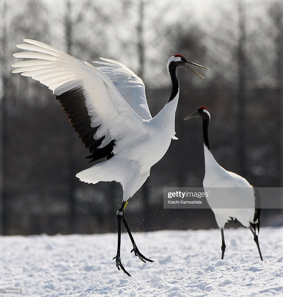 Japanese cranes in a snowcovered field near the village of Tsurui on February 18 2007 in the Akan district of Kushiro Subprefecture Hokkaido...