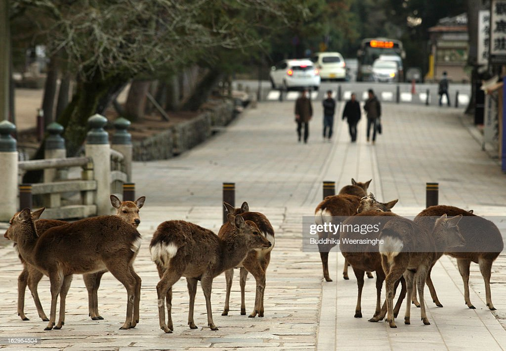 Japanese deer on the entrance road of the Todaiji temple on March 2, 2013 in Nara, Japan. The Japanese deer which roam freely in the grounds of the Todaiji temple were believed to be messengers of the gods and have now been designated as a National Treasures. The Buddhist Todaiji temple was built in 752 AD and is now one of seven sites in Nara to be listed as a UNESCO World Heritage Site.