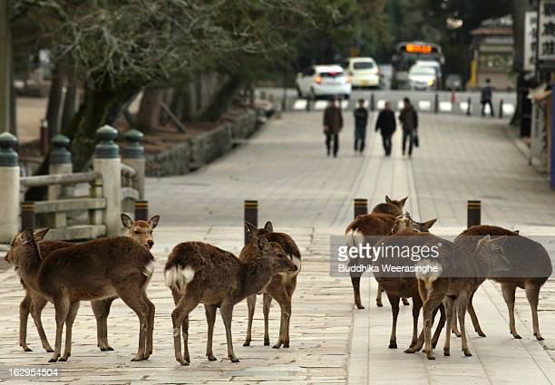 Japanese deer on the entrance road of the Todaiji temple on March 2 2013 in Nara Japan The Japanese deer which roam freely in the grounds of the...