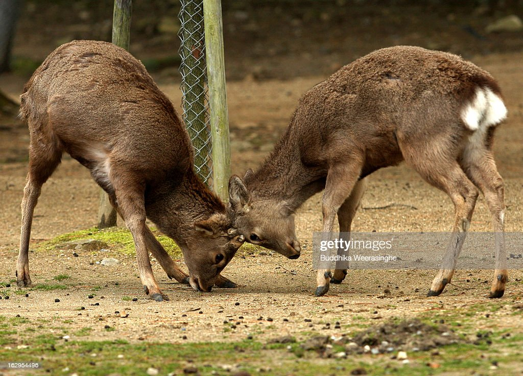 Japanese deer play in the grounds in front of the Todaiji Temple on March 2, 2013 in Nara, Japan. The Japanese deer which roam freely in the grounds of the Todaiji Temple were believed to be messengers of the gods and have now been designated as a National Treasures. The Buddhist Todaiji Temple was built in 752 AD and is now one of seven sites in Nara to be listed as a UNESCO World Heritage Site.