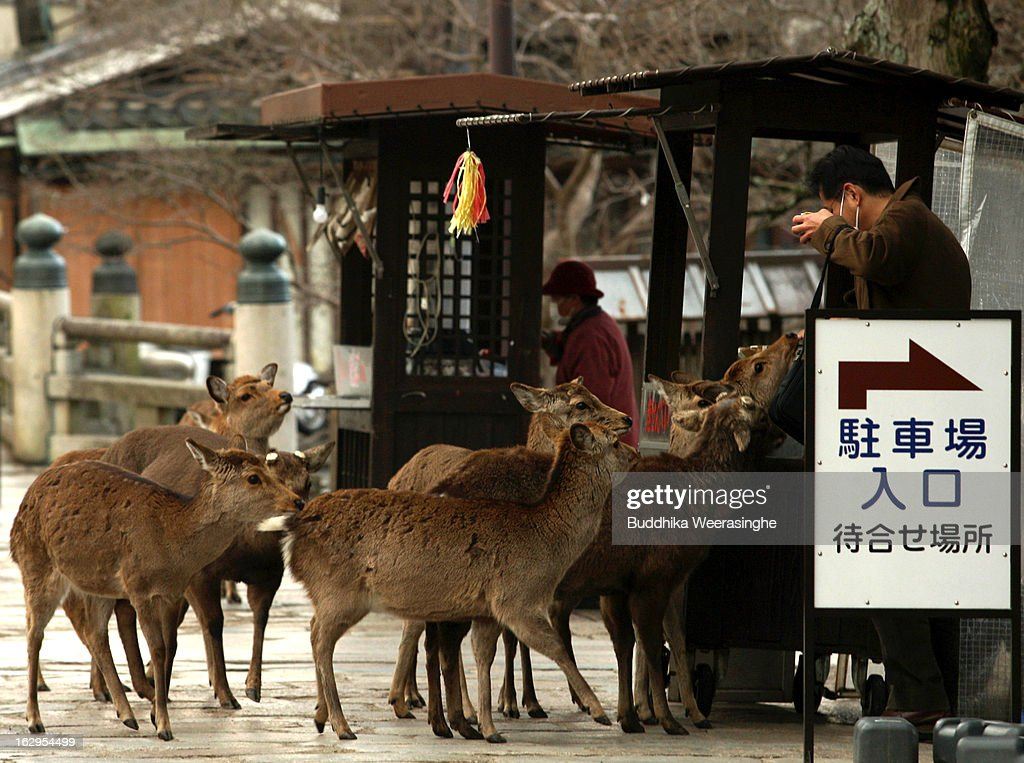 Japanese deer wait for meals entrance road of the Todaiji Temple on March 2, 2013 in Nara, Japan. The Japanese deer which roam freely in the grounds of the Todaiji Temple were believed to be messengers of the gods and have now been designated as a National Treasures. The Buddhist Todaiji Temple was built in 752 AD and is now one of seven sites in Nara to be listed as a UNESCO World Heritage Site.