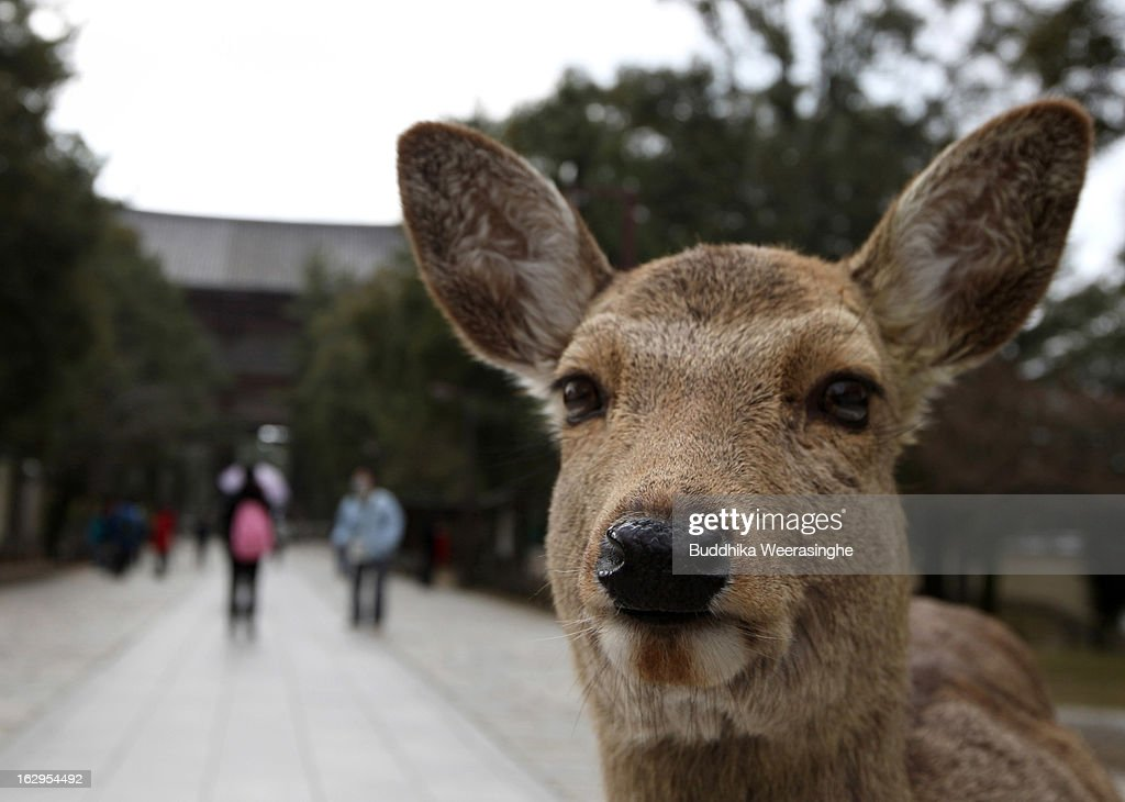 Japanese deer walk in front of the Todaiji Temple on March 2, 2013 in Nara, Japan. The Japanese deer which roam freely in the grounds of the Todaiji Temple were believed to be messengers of the gods and have now been designated as a National Treasures. The Buddhist Todaiji Temple was built in 752 AD and is now one of seven sites in Nara to be listed as a UNESCO World Heritage Site.