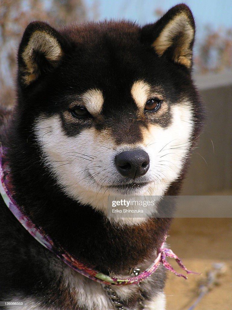 Japanese dog : Stock Photo