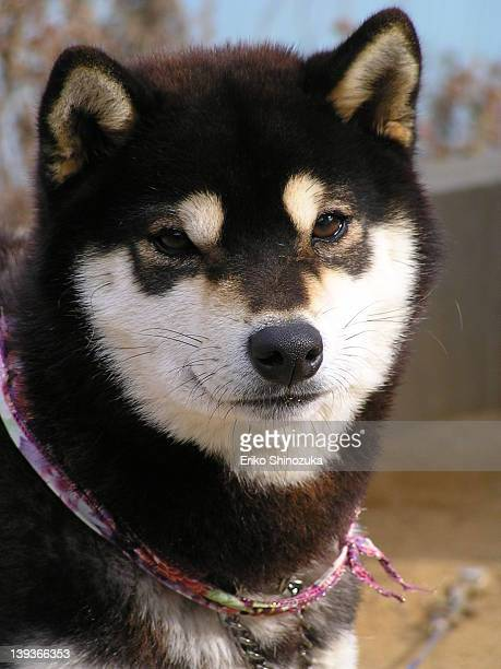 Shiba Inu Stock Photos And Pictures Getty Images