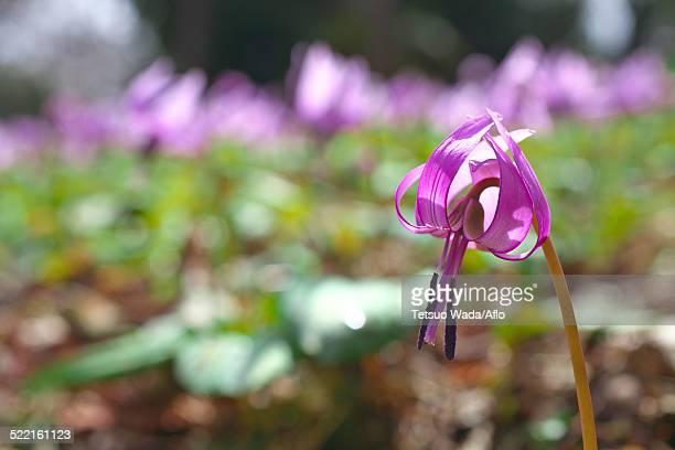 Japanese dog tooth violet