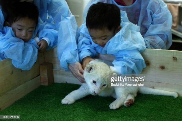 Japanese family plays with newly born twin white lion cub during the fifth day of Lion Cub Premium Tour program at an animal hospital at the Himeji...