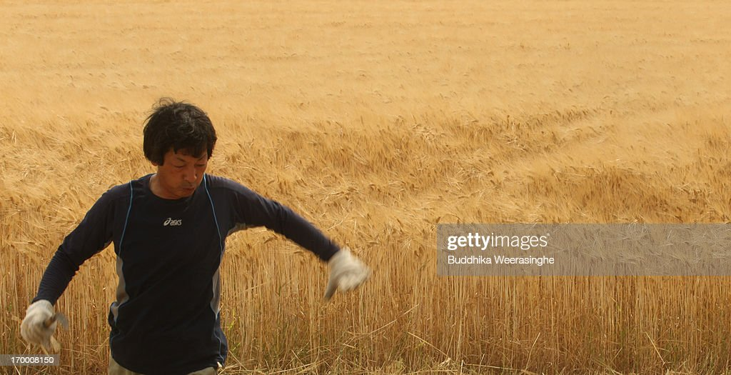 A Japanese farmer walks in a wheat field at the start of wheat harvesting season on June 6, 2013 in Okayama, Japan. Japan is the world's sixth-biggest wheat buyer and imports around 800,000 tonnes each year, 60 percent of which is from the US.