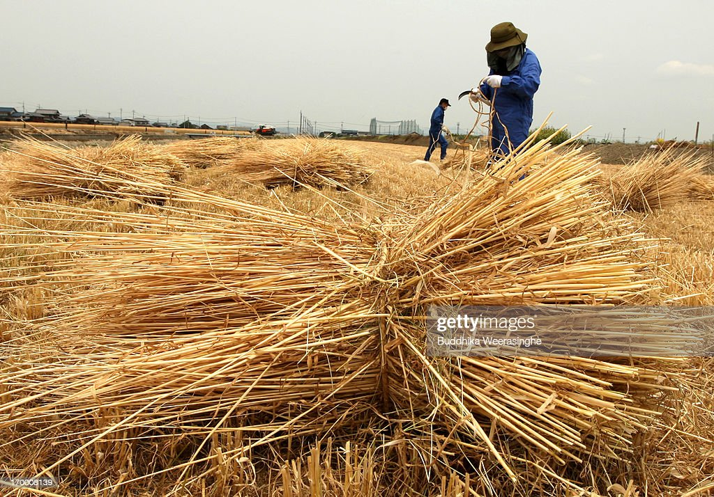 Japanese farmers bundle wheat straws in a field as wheat harvesting season begins on June 6, 2013 in Okayama, Japan. Japan is the world's sixth-biggest wheat buyer and imports around 800,000 tonnes each year, 60 percent of which is from the US.