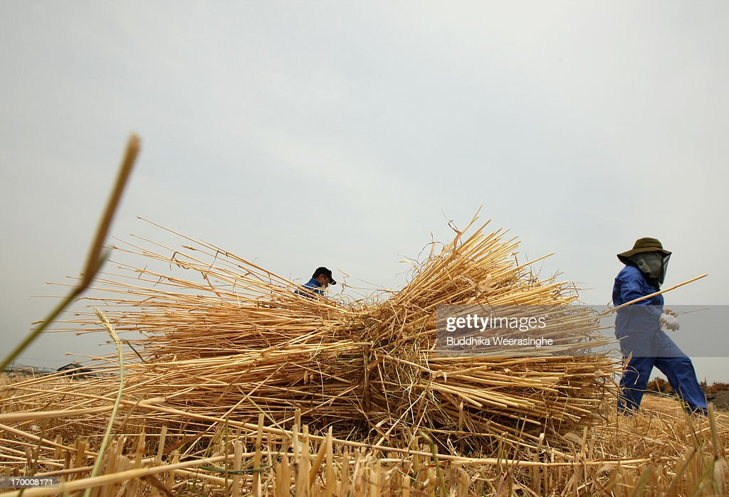 Japanese farmers walk over a bundle of wheat straws in a field at the start of wheat harvesting season on June 6, 2013 in Okayama, Japan. Japan is the world's sixth-biggest wheat buyer and imports around 800,000 tonnes each year, 60 percent of which is from the US.