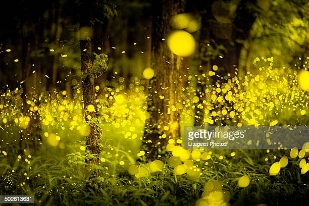 Japanese forest fireflies